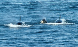 3 Killer whales - Lemaire Channel.jpg