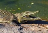DSC_1925 - Crocodile - Mozambique.JPG