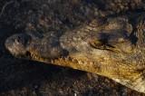 DSC_2133 Crocodile - Chicamba Dam Mozambique.jpg