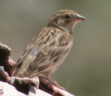 Stensparv / Rock Sparrow
