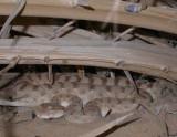 Hornvipera / Arabian Horned Viper (Cerastes gasperetti)