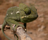 Arabisk kameleont (Chamaeleo arabicus)