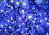 Market Irises