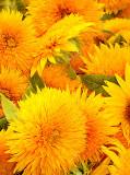 Sunflowers 04