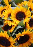 Sunflowers 05