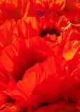 15 Sun on Market Poppies 3