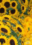 Sunflowers 08