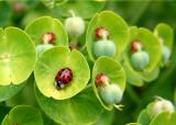 Ladybug on Euphorbia