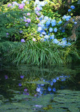 Hydrangea by the Pond