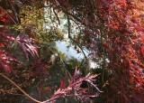 21 Pond Through Fall Maple