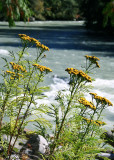 04 Tansy by Nooksack River