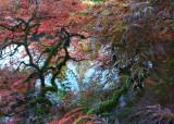 23 Pond Through Fall Maple 2