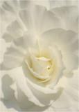 13 White Begonia