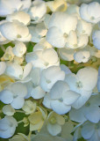 21 White Hydrangea