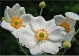 22 Anemones