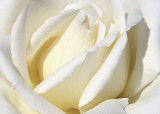 23 White Rose