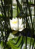 24 White Lotus in Reeds