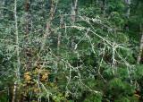 47 Lichen Branches