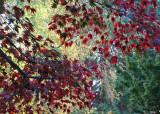 35 Maroon Maple Leaves