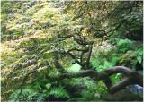 42 Kubota Summer Maple 1