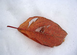 Snow Cushion for a Dying Leaf