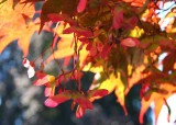 56 Maple Seeds
