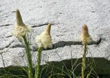 25 Bear Grass