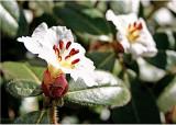 27 r.leucapsis