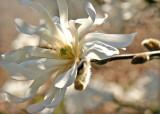 28 Star Magnolia