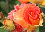 17 Orange Rose and Bud