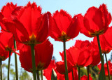 18 Parrot Tulips