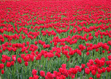 20 Red Skagit Tulip Field