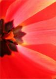 21 Inside the Tulip