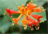 26 Orange Honeysuckle