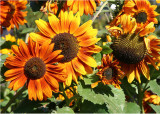 27 Sunflowers 08