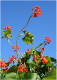 29 Scarlet Runner Beans