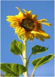 31 Leahs Sunflower