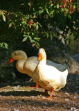 White Duck Couple