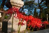 Spider Lilies at Aoyama Cemetary