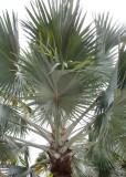 silver palm tree.JPG