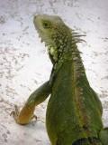 Pool iguana