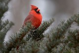 Northern Cardinal in Evergreen
