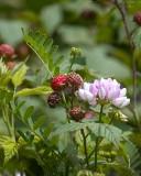 Black Raspberries and Crown Vetch