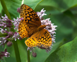 Fritillary Butterfly and Milkweed Flower