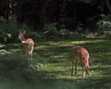 Backyard Fawns