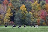 Autumn Cows