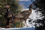 Wild Turkeys in Winter