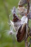 Milkweed and Milkweed Bugs