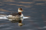Horned Grebe (Winter Plumage)