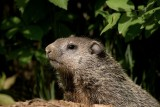 Baby Groundhog at Burrow
